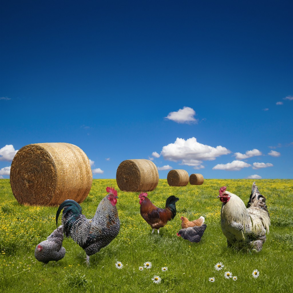Free range chickens on  green meadow